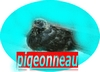 pigeonneau